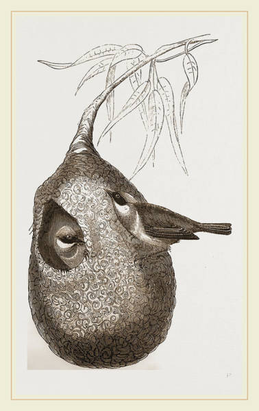 Titmouse Drawing - Penduline Titmice And Nest by Litz Collection