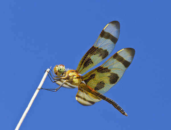 Photograph - Pennant Dragonfly by Steven Schwartzman