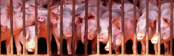 Wall Art - Photograph - Penned Pigs England by Animal Images