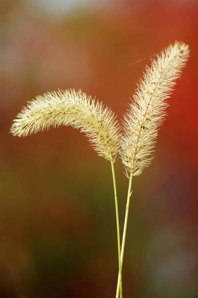 Pennisetum Photograph - Pennisetum Alopecuroides by Maria Mosolova/science Photo Library