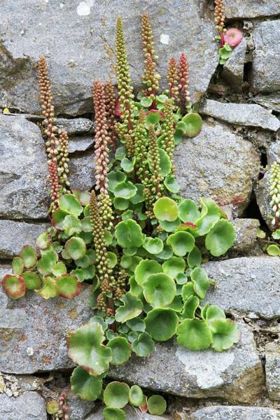 Angiosperm Photograph - Pennywort by Sinclair Stammers