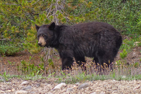Photograph - Pensive Black Bear by Charles Kozierok
