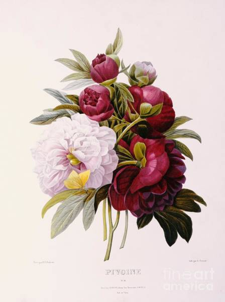 Burgundy Painting - Peonies Engraved By Prevost by Pierre Joseph Redoute