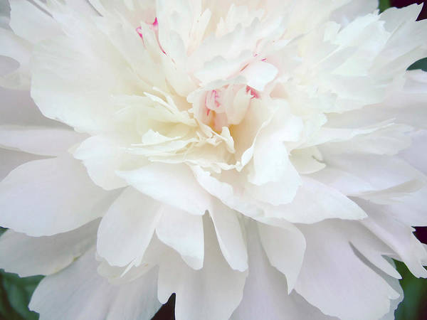 Anna Photograph - Peony Abstract by Anna Miller