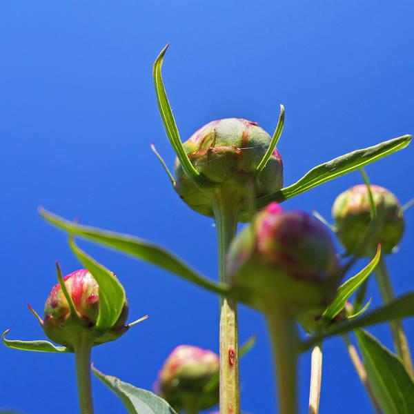 Photograph - Peony Buds by Joann Vitali