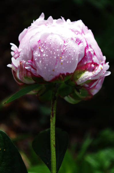 Photograph - Peony Flower In The Rain by Sharon Popek
