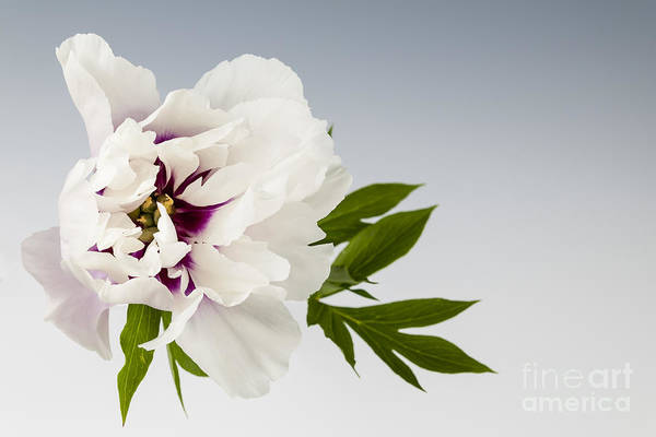 Wall Art - Photograph - Peony Flower On Gray by Elena Elisseeva