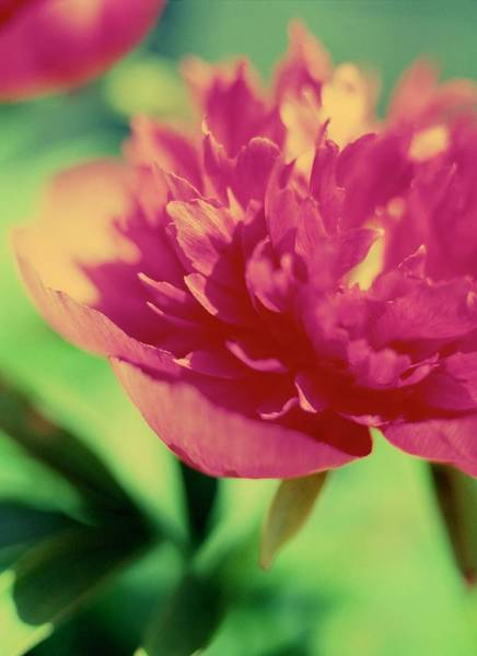 Cerise Photograph - Peony Flower (paeonia Sp.) by Rachel Warne/science Photo Library