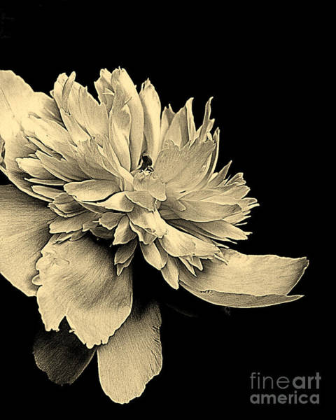 Photograph - Peony Flower by Smilin Eyes  Treasures