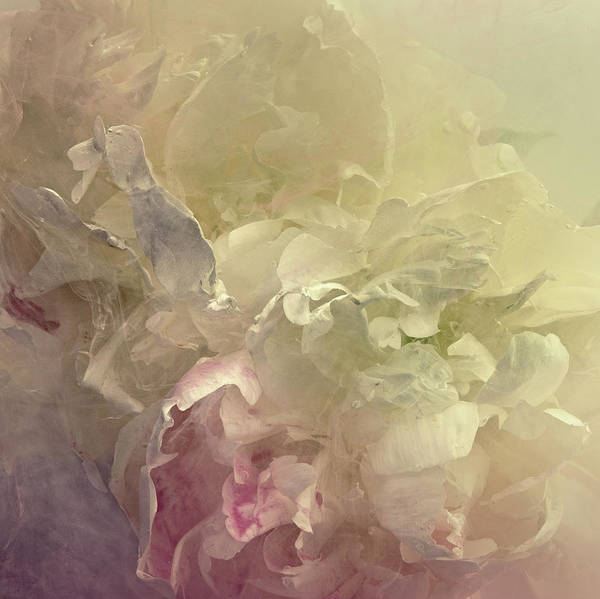 Photograph - Peony In A Tank Of Water And Dissolving by Jonathan Knowles
