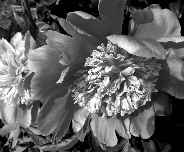 Photograph - Peony In Black And White by John Norman Stewart