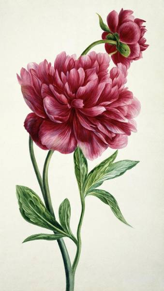 Wall Art - Photograph - Peony (paeonia Officinalis) by Natural History Museum, London/science Photo Library