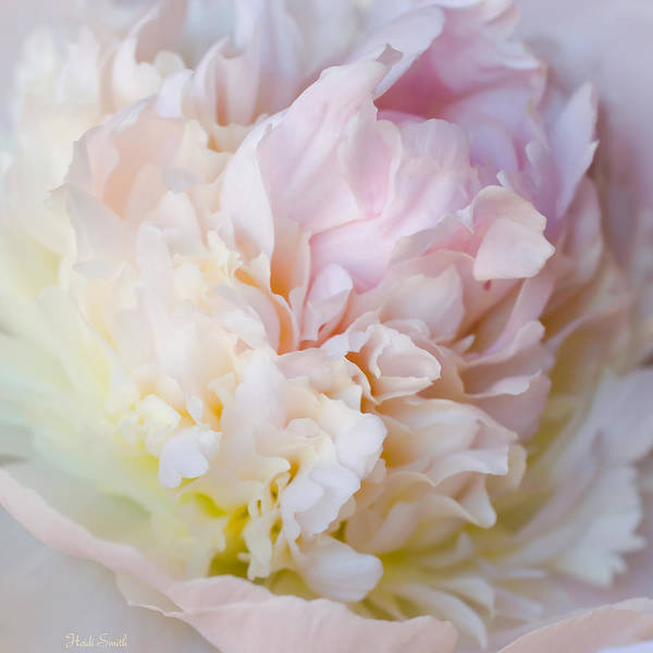 Wall Art - Photograph - Peony Perfection by Heidi Smith