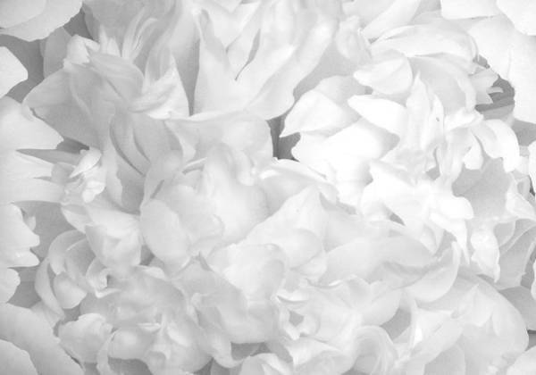 Photograph - Peony Petals by Denise Beverly
