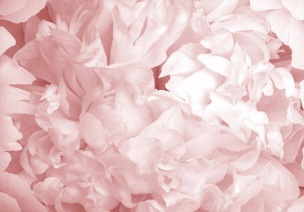 Photograph - Peony Pink Beauty by Denise Beverly