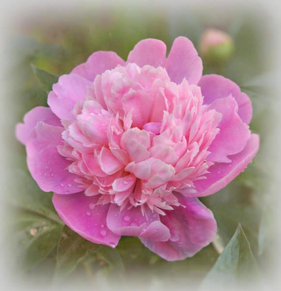 Photograph - Peony - Pink by Sandy Keeton