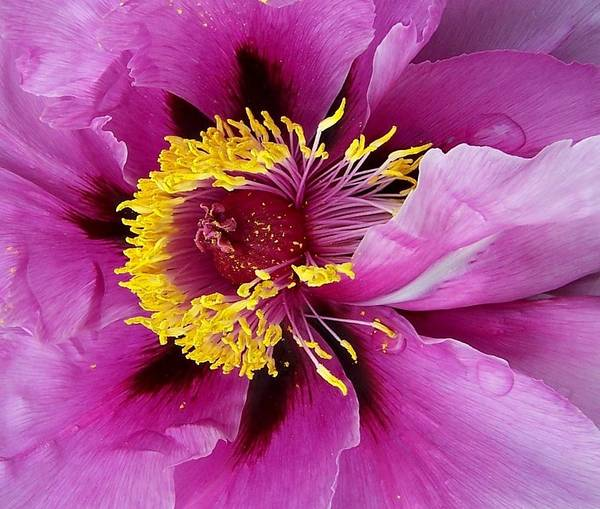 Wall Art - Photograph - Peony Revealed by Peter Mooyman