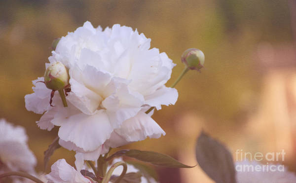 Photograph - Peony by Rima Biswas