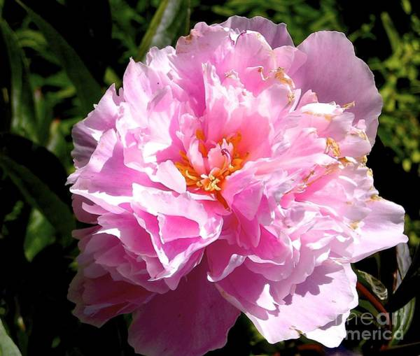 Photograph - Peony by Sher Nasser