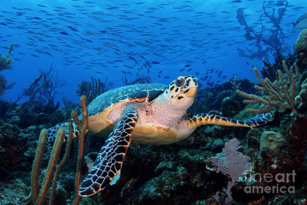 Hawksbill Turtle Photograph - Pepe On Eldorado by Carey Chen