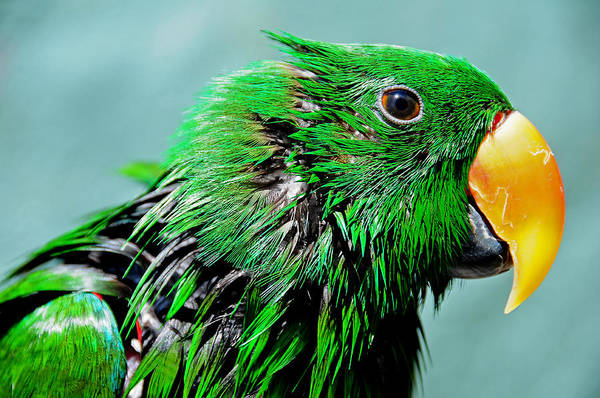 Eclectus Parrots Photograph - Peppi. Green Parrot After Washing by Jenny Rainbow