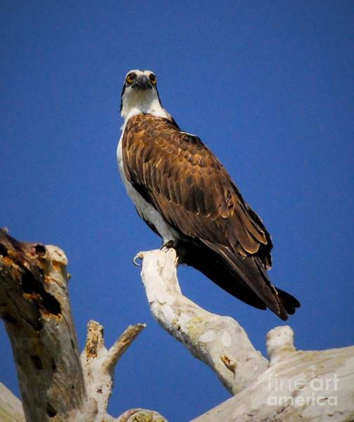 River Hawk Photograph - Perched Above by Quinn Sedam