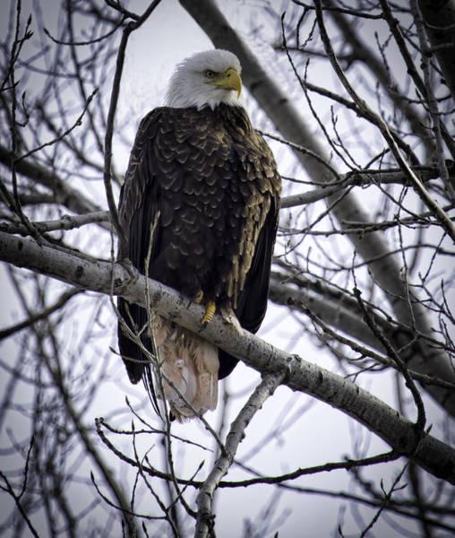Perched Adult American Bald Eagle Art Print