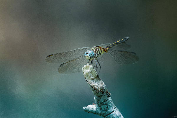 Photograph - Perched Dragonfly by Jai Johnson