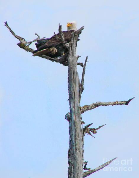 Photograph - Perched Eagle by Vivian Martin