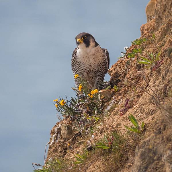 Peregrine Photograph - Perefrine Falcon by Ian Hufton