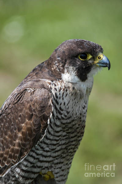 Photograph - Peregrine Falcon 1 by Arterra Picture Library
