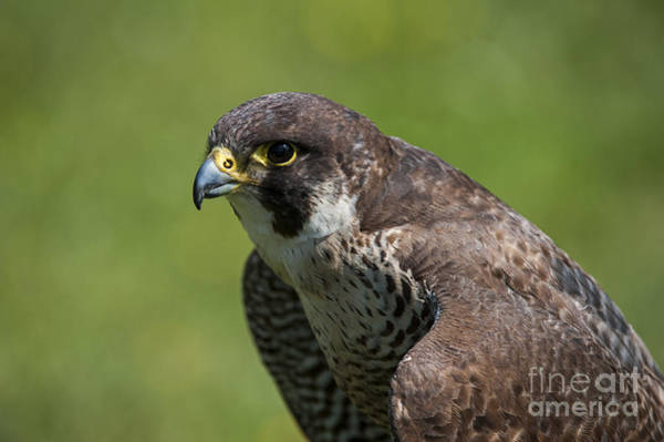 Photograph - Peregrine Falcon 3 by Arterra Picture Library