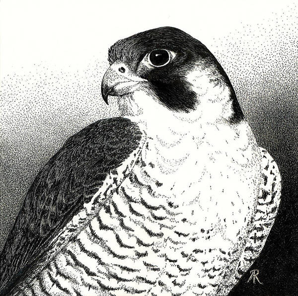Drawing - Peregrine Falcon by Ann Ranlett