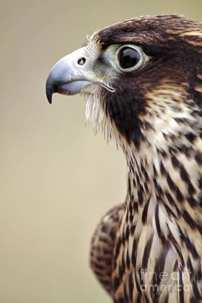 Peregrine Photograph - Peregrine Falcon by Charline Xia