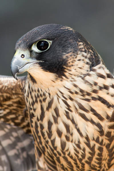 Photograph - Peregrine Falcon by Dale Kincaid