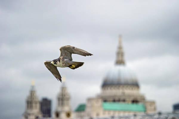 Peregrine Photograph - Peregrine Falcon by David Tipling