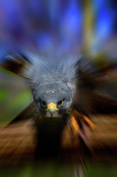 Peregrine Photograph - Peregrine Falcon Falco Peregrinus by Animal Images