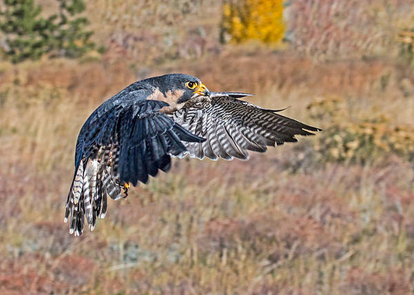 Wall Art - Photograph - Peregrine Falcon Flight  by Dawn Key