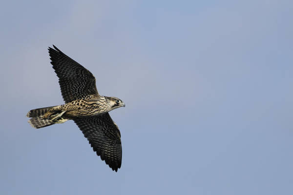 Photograph - Peregrine Falcon Flying by Bradford Martin