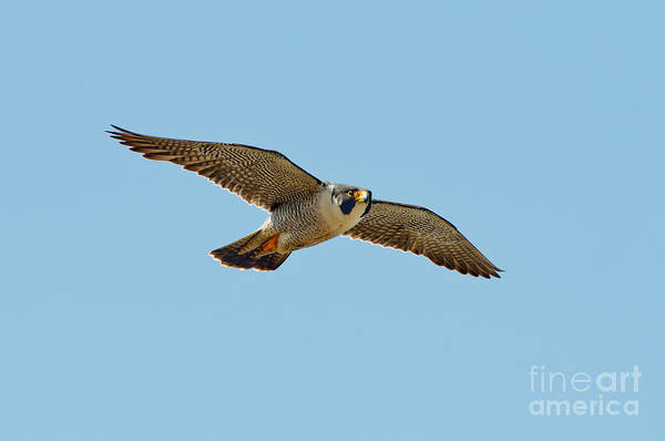 Falconiformes Photograph - Peregrine Falcon In Flight by Anthony Mercieca