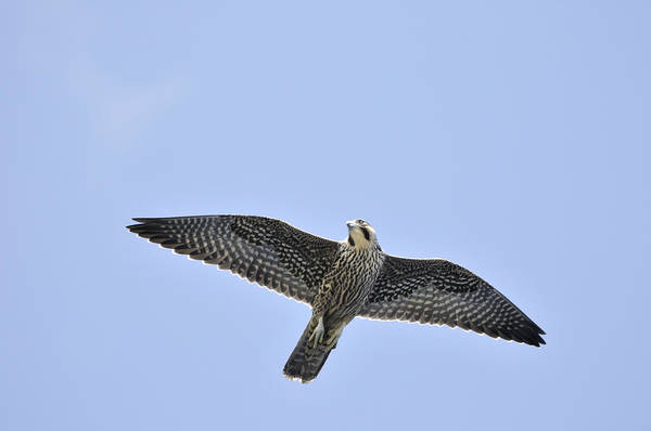 Photograph - Peregrine Falcon In Flight by Bradford Martin
