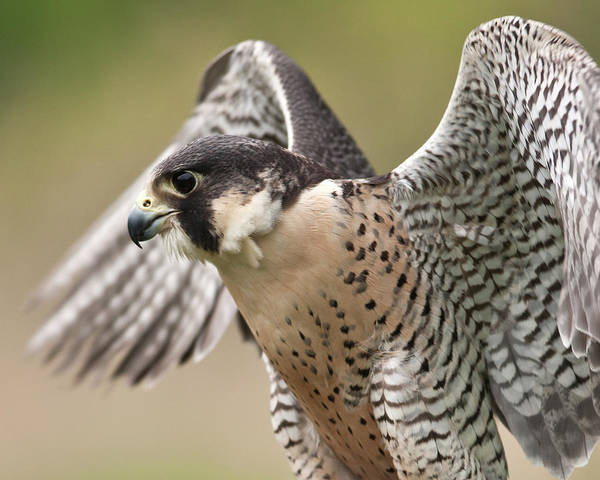 Taking Off Photograph - Peregrine Falcon by Jody Trappe Photography