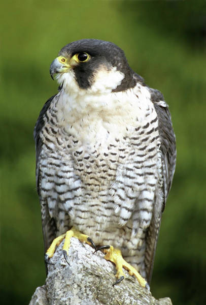 Living Things Photograph - Peregrine Falcon by John Devries/science Photo Library