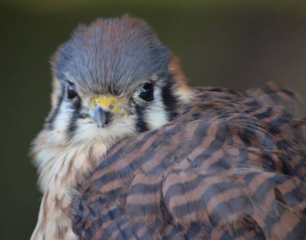 Photograph - Peregrine Falcon by Maggy Marsh