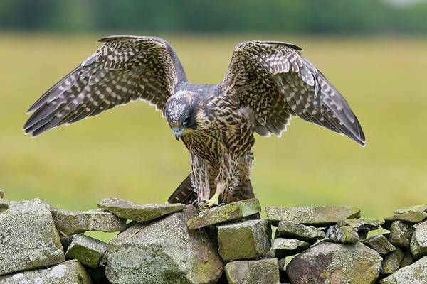 Peregrine Photograph - Peregrine Falcon On A Dry-stone Wall by John Devries/science Photo Library