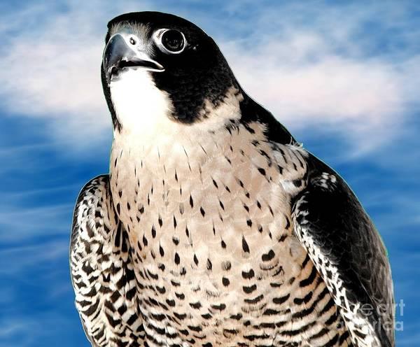 Hawk Creek Photograph - Peregrine Falcon by Rose Santuci-Sofranko