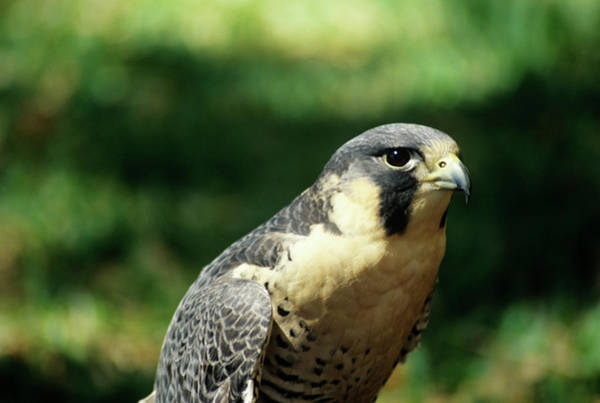 Lowry Photograph - Peregrine Falcon by Sally Mccrae Kuyper/science Photo Library