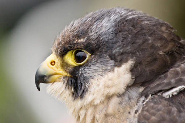 Peregrine Photograph - Peregrine Falcon by Scott Carruthers