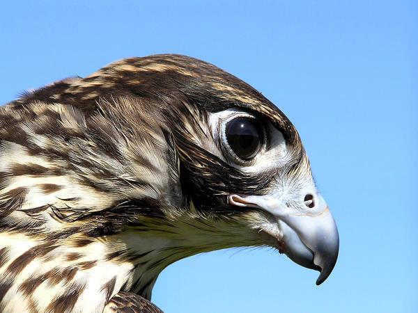 Photograph - Peregrine Falcon Tashunka by Christina Rollo