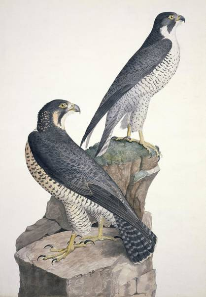 Falconiformes Photograph - Peregrine Falcons, Artwork by Science Photo Library